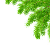 Branch of a pine Stock Photos