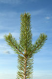 Branch of the pine Royalty Free Stock Images