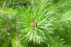 Branch of the pine Stock Photo