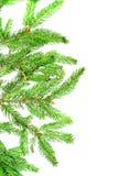 Branch of a pine. Stock Photos