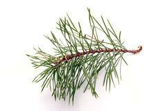 Branch of pine Royalty Free Stock Photo