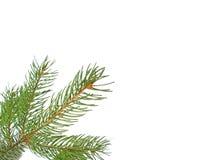 branch pine στοκ εικόνα με δικαίωμα ελεύθερης χρήσης