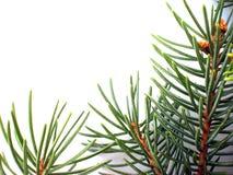 branch pine στοκ φωτογραφία με δικαίωμα ελεύθερης χρήσης