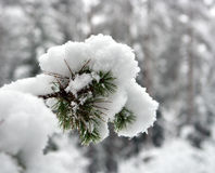 Branch of a pine. Under weight of a snow Royalty Free Stock Photos