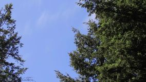 Light wind in tree tops in spring. Branch of pine against the blue sky in the wind stock video footage