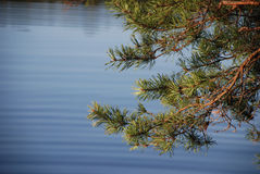 Branch of a pine against water Royalty Free Stock Images