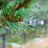 Branch of a pine Stock Photography