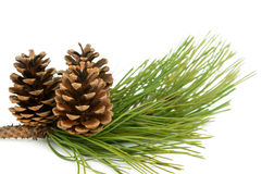 Branch with pine cone Stock Images