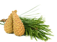 Branch with pine cone Stock Photography