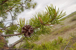 Branch with pine cone in nature Stock Photography