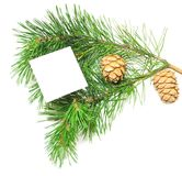 Branch of pine with cones Royalty Free Stock Images