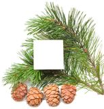 Branch of pine with cones Stock Photos