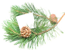 Branch of pine with cones Stock Photography