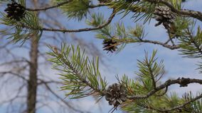 Branch with pine cones. Against the blue sky stock footage