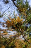Flowering pine in spring. Yellow pollen. Cones royalty free stock image