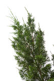 Branch of pine or fir tree on white isolate background Royalty Free Stock Photos