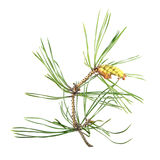 Branch of pine with green needles and ripe pollen cones isolated on white background Stock Images