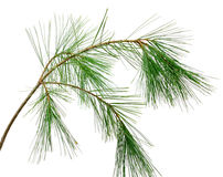 Branch of the pine Stock Images