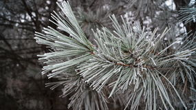 The branch of a pine with long needles Royalty Free Stock Image