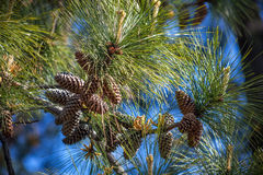 Branch of pine with long needles and small cones against the bac Royalty Free Stock Image