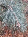 Branch with pine needles and cones royalty free stock photos
