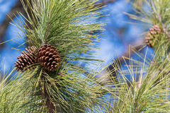 Branch of Pine with needles and Pine Cone Royalty Free Stock Image