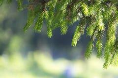 A branch of pine needles in the summer morning sun Stock Photos