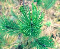Branch of pine in the park. Royalty Free Stock Images