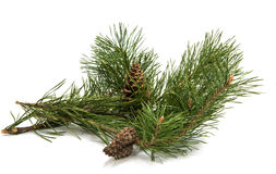 A branch of pine with a pine cone Stock Photos