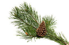 A branch of pine with a pine cone Royalty Free Stock Images