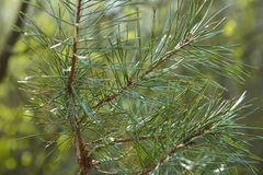 Branch of pine with small young bumps in the forest. Fluffy branch with long needles royalty free stock photo