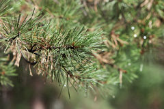 Branch of pine in summer forest Stock Image