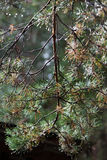 Branch of pine in summer forest Stock Photo