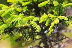 Branch of a pine tree Stock Photography