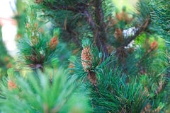 Branch of a pine tree Stock Photos