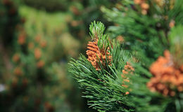 Branch of a pine tree Royalty Free Stock Photos