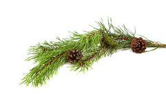 Branch of pine-tree. Royalty Free Stock Photography