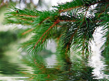 Branch of pine-tree Royalty Free Stock Photography