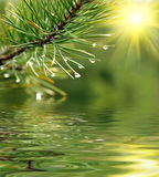 Branch of pine-tree. Green branch of pine-tree reflected in the water Stock Image