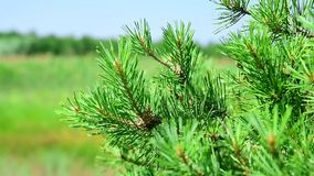 Branch of a pine tree on a blurred background of a green landscape. On a summer day stock video footage