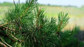 Branch of a pine tree on a blurred background of a green landscape. On a summer day stock video