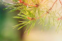 Branch of a pine tree. A branch of a pine tree with green needles and pine buds on blurred background royalty free stock photos