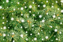 A branch of pine tree close up Stock Image
