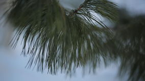 The branch of pine tree close-up in calm weather stock video
