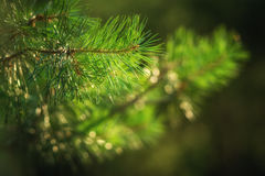 Branch of pine tree Royalty Free Stock Images