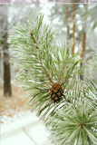 Branch of pine tree with cone, winter Royalty Free Stock Photography