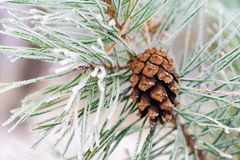 Branch of pine tree with cone, winter Stock Images