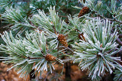 Branch of pine tree with cone, winter Stock Photo