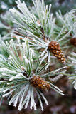 Branch of pine tree with cone, winter Royalty Free Stock Images