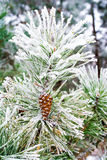 Branch of pine tree with cone, winter Royalty Free Stock Image
